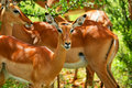 Wild antelope Royalty Free Stock Photo