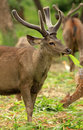 Wild antelope Royalty Free Stock Images