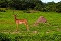 Wild antelope impala male (South Africa) Royalty Free Stock Photo