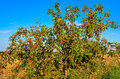 Wild apple tree with fruits Royalty Free Stock Images