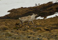 Wild Artic Caribou Royalty Free Stock Photo