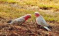 Wild australian pink grey galahs in farm paddock a pair of two native and foraging around the ground for seeds the grass of a Royalty Free Stock Images
