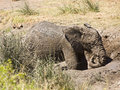Wild baby african elephant playing in mud, Kruger National park, South Africa Royalty Free Stock Photo