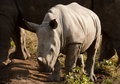 Wild Baby Rhinoceros In Sunlight Royalty Free Stock Photography