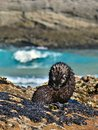 Wild Baby Seal Taking Care of its Fur at Wharariki Beach, New Zealand