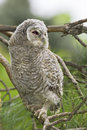 Wild baby Tawny owl sitting  / Strix aluco Stock Photos