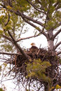 Wild Bald Eagle on Nest Stock Photos