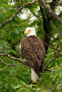 Wild Bald Eagle Perched in Tree Stock Photography