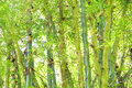 Wild bamboo in the rain forest texture in green for a backgrou background spa or meditation Royalty Free Stock Images