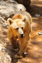 Wild bear brown in safari park central israel Royalty Free Stock Photos