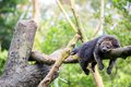 Wild bearcat sleeping binturong on tree Royalty Free Stock Photos