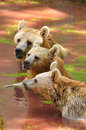 Wild bears brown in safari park central israel Royalty Free Stock Image