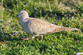 Wild beautiful turtledove in a meadow from the north of portugal detailed photo Stock Photo