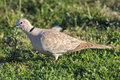 Wild beautiful turtledove in a meadow from the north of portugal detailed photo Royalty Free Stock Photos