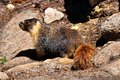 Wild beautiful yellow bellied marmot in yosemite national park california usa Stock Images