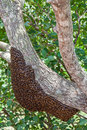 Wild bees in sri lanka nest of Stock Photography