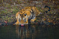 Wild Bengal Tiger drinking water from a pond in the jungle. India. Bandhavgarh National Park. Madhya Pradesh. Royalty Free Stock Photo