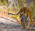 Wild Bengal Tiger is going on the road in the jungle. India. Bandhavgarh National Park. Madhya Pradesh. Royalty Free Stock Photo