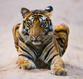 Wild Bengal Tiger lying on the road in the jungle. India. Bandhavgarh National Park. Madhya Pradesh. Royalty Free Stock Photo