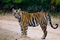 Wild Bengal tiger standing on the road in the jungle. India. Bandhavgarh National Park. Madhya Pradesh. Royalty Free Stock Photo