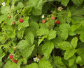 Wild Berries Stock Image