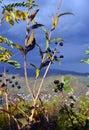 Wild berries Royalty Free Stock Photo