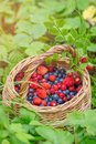 Wild berry blueberry and strawberry in a basket in grass in nature Royalty Free Stock Photo