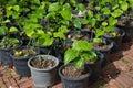 Wild betel leafbush in pots Stock Image