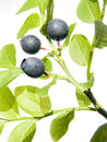 Wild bilberry Royalty Free Stock Photo