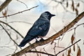 Wild bird crow on a tree branch Stock Photos