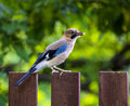 Wild bird the a jay looks for a forage Stock Photos
