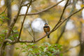 Wild bird it is the that stop on a tree in autumn Royalty Free Stock Photography