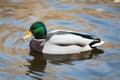 Wild bird. Swimming duck in water. Royalty Free Stock Photo