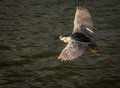 Wild birds flying red eyed heron over water Stock Images
