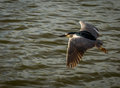 Wild birds flying red eyed heron over water Stock Image