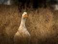 Wild birds a goose hides in the grass Royalty Free Stock Photo