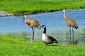 Wild birds in a micihigan pond canadian geese share small michigan with pair of sand hill cranes Royalty Free Stock Photography