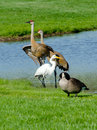 Wild birds in a micihigan pond canadian geese share small michigan with pair of sand hill cranes and white egert Royalty Free Stock Photo