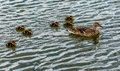 Wild birds a a mother duck and her ducklings Royalty Free Stock Photography