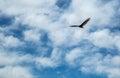 Wild birds a vulture soars through the air Stock Photos