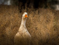 Wild birds a white goose in the grass hiding from predators Royalty Free Stock Images