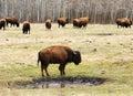 Wild bison herd Royalty Free Stock Photo