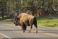 Wild bison obeying a speed sign in front of Royalty Free Stock Images