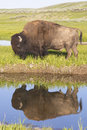 Wild bison reflections in a clear blue lake water of Stock Photography