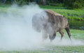 Wild bison shaking dust from his body after a roll Royalty Free Stock Image