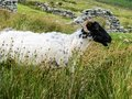 Wild Black headed sheep on the side of a mountain Royalty Free Stock Photo