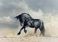 Wild black stallion in desert running Stock Photos