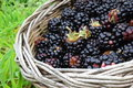 Wild blackberries in basket Royalty Free Stock Photo
