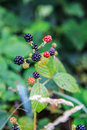 Wild blackberries both ripe and unripe in a forest Stock Image