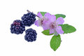 Wild Blackberries and flowers Royalty Free Stock Photo